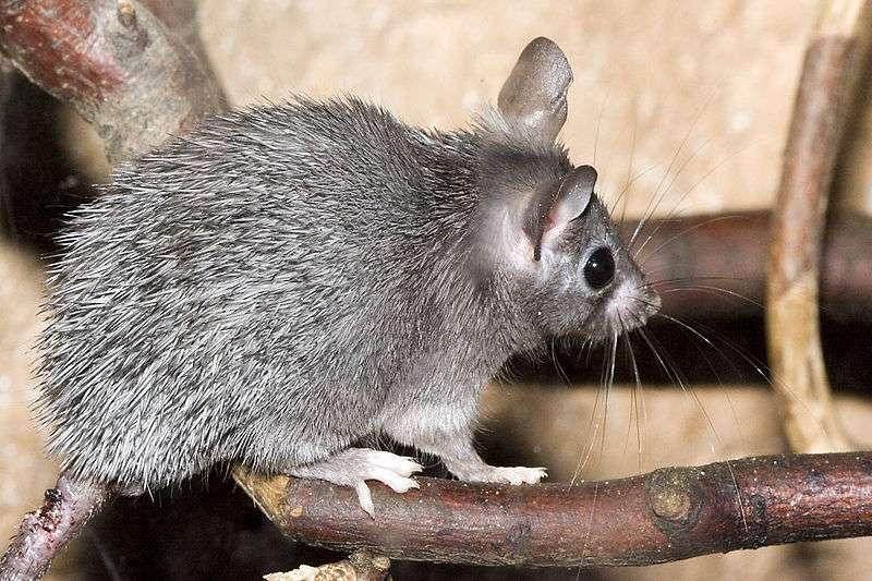 Les souris épineuses vivent en Asie et en Afrique. On savait déjà qu'elle pouvait régénérer au moins en partie leur queue quand elle était coupée, mais elles viennent de faire preuve d'un pouvoir de régénération bien plus important avec leur peau. Jamais un phénomène de cette ampleur n'avait été constaté chez les Mammifères. © Olaf Leillinger, Wikipédia, cc by sa 2.5