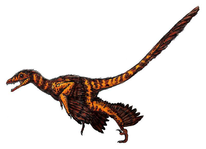 Les coelurosauriens regroupent les dinosaures bipèdes apparentés aux oiseaux, comme ce Sinornithosaurus. Souvent de petite taille, la superfamille a connu des membres géants à la fin du règne des dinosaures, durant le Crétacé, comme le tyrannosaure. © FunkMink, Wikipédia, cc by sa 3.0