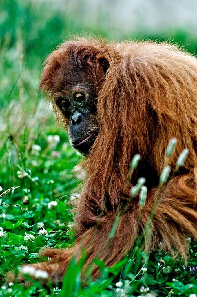 Plus de la moitié de la population mondiale de Pongo pygmaeus aurait disparu au cours de ces soixante dernières années. Les mâles, sexuellement matures sept à dix ans après leur naissance, sont solitaires. Ils peuvent pousser des cris audibles à plus d'un kilomètre. © mfld57, Flickr, CC by-nc 2.0