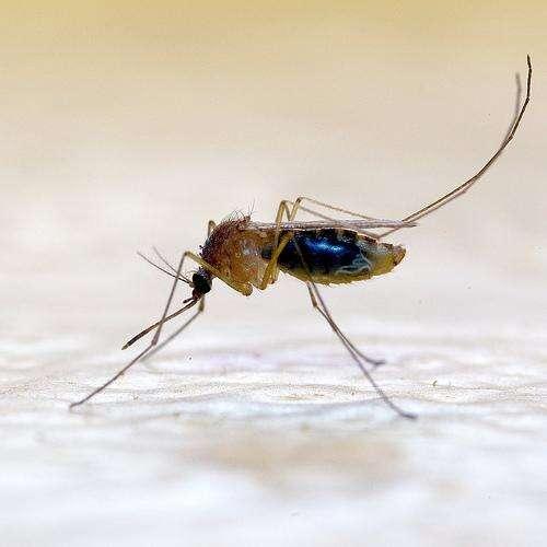 Chez les moustiques, seules les femelles piquent pour se nourrir de sang. Elles émettent aussi avec leurs ailes un son aigu qui attire les mâles dans une parade nuptiale et musicale. © JR Guillaumin CC by-nd 2.0