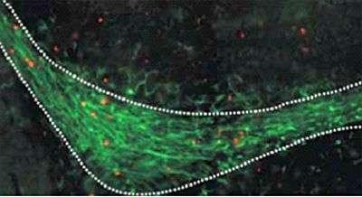 Nouvelle zone du cerveau adulte mise en évidence par les chercheurs, au sein de laquelle naissent les néo-neurones. Crédit : Journal of Neuroscience