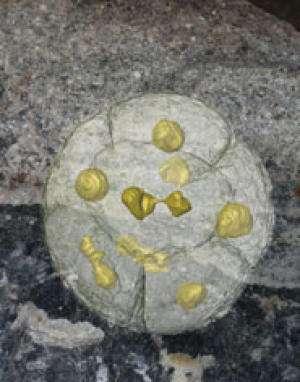 Des fossiles vieux de 570 millions d'années ont été étudiés grâce à une technique de tomographie donnant des images en trois dimensions. Chaque structure jaune (d'environ 1 mm de diamètre) correspond à un amas de cellules en cours de division et qui pourrait être à la base de l'histoire évolutive des animaux métazoaires. © University of Bristol