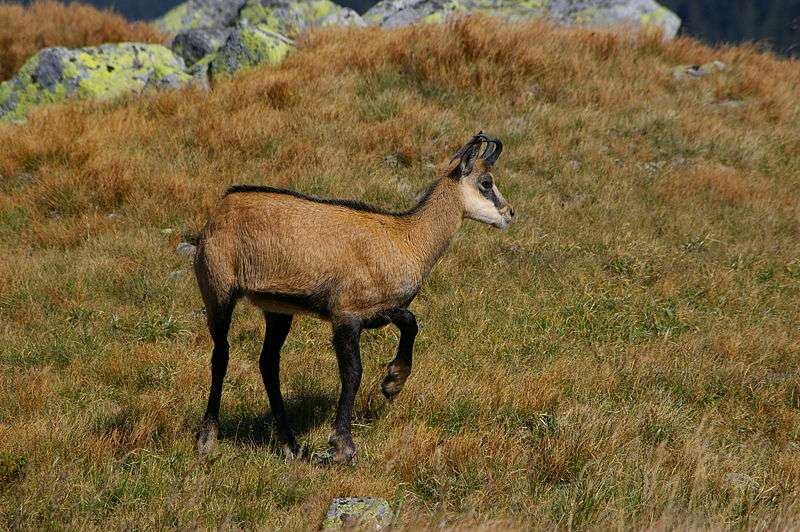 Photo d'un chamois. © Boskar - GNU FDL Version 1.2