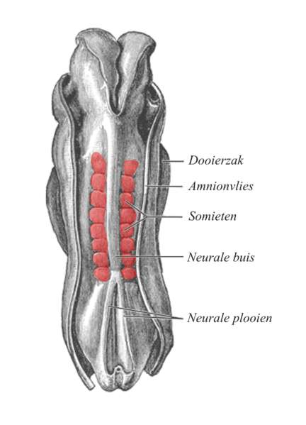 Vue dorsale d'un embryon. Les somites, visibles en rouge, sont alignés le long du tube neural. © Gray's Anatomy, Wikimédia domaine public