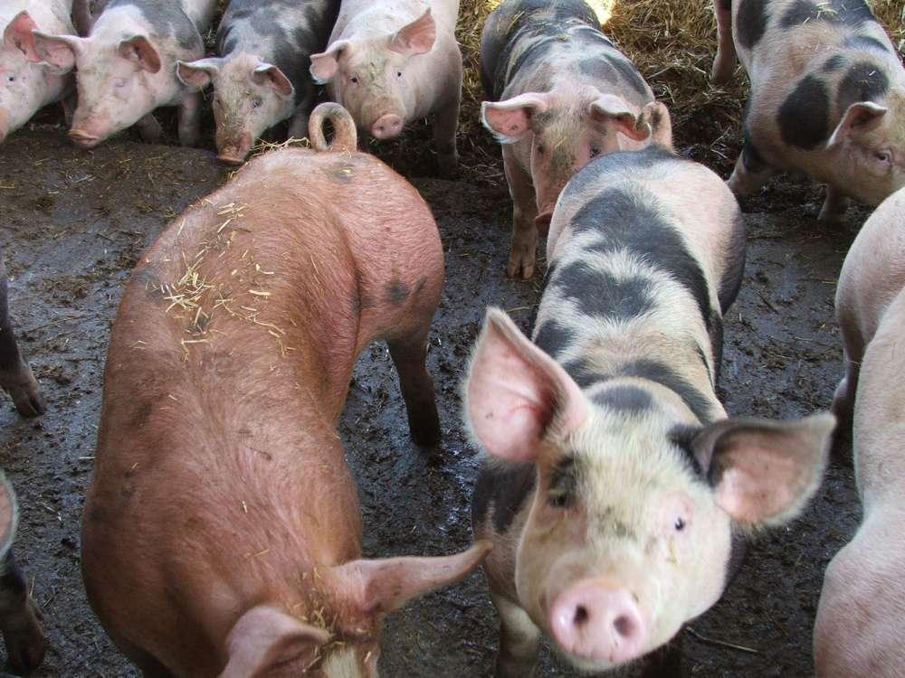 En 2008, 56 % des antibiotiques vétérinaires français ont été utilisés dans des élevages porcins. © podchef, Flickr, cc by nc sa 2.0