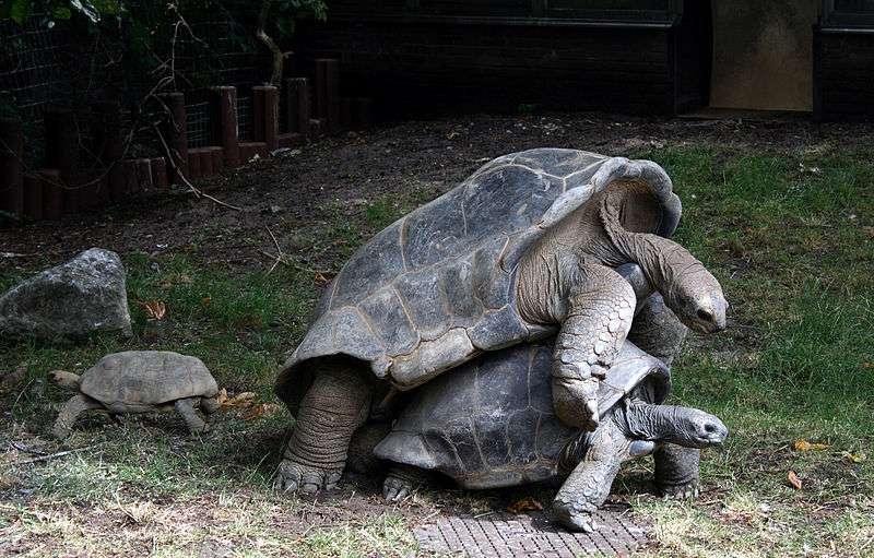 Afin d'éviter une extinction sur l'île d'Aldabra, divers groupes ont été implantés sur des îles voisines. © Szilas, Wikipédia, DP