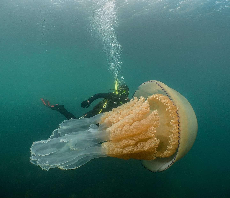 La méduse Rhizostoma pulmo ne dépasse habituellement pas les 90 cm. © Lizzie Daly, Facebook