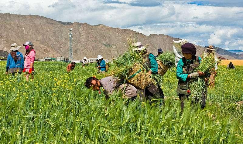 Les chercheurs estiment que, pour survivre sur le plateau tibétain à 3.400 m d'altitude, hommes, plantes et animaux ont dû s'adapter physiologiquement. © Antoine Taveneaux, Wikimedia Commons, cc by sa 3.0