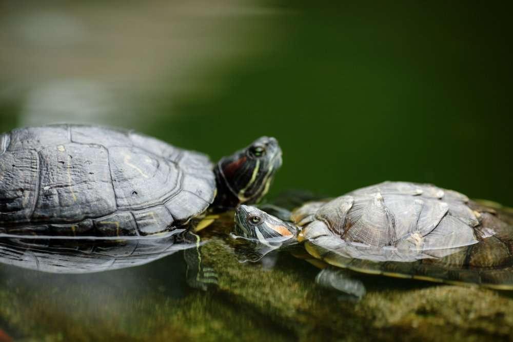 Chez les tortues aquatiques, l'accouplement peut durer longtemps. Lorsque le couple coule, il risque d'y avoir quelque danger... La femelle pond généralement entre 5 et 20 œufs. © Leungchopan/shutterstock.com