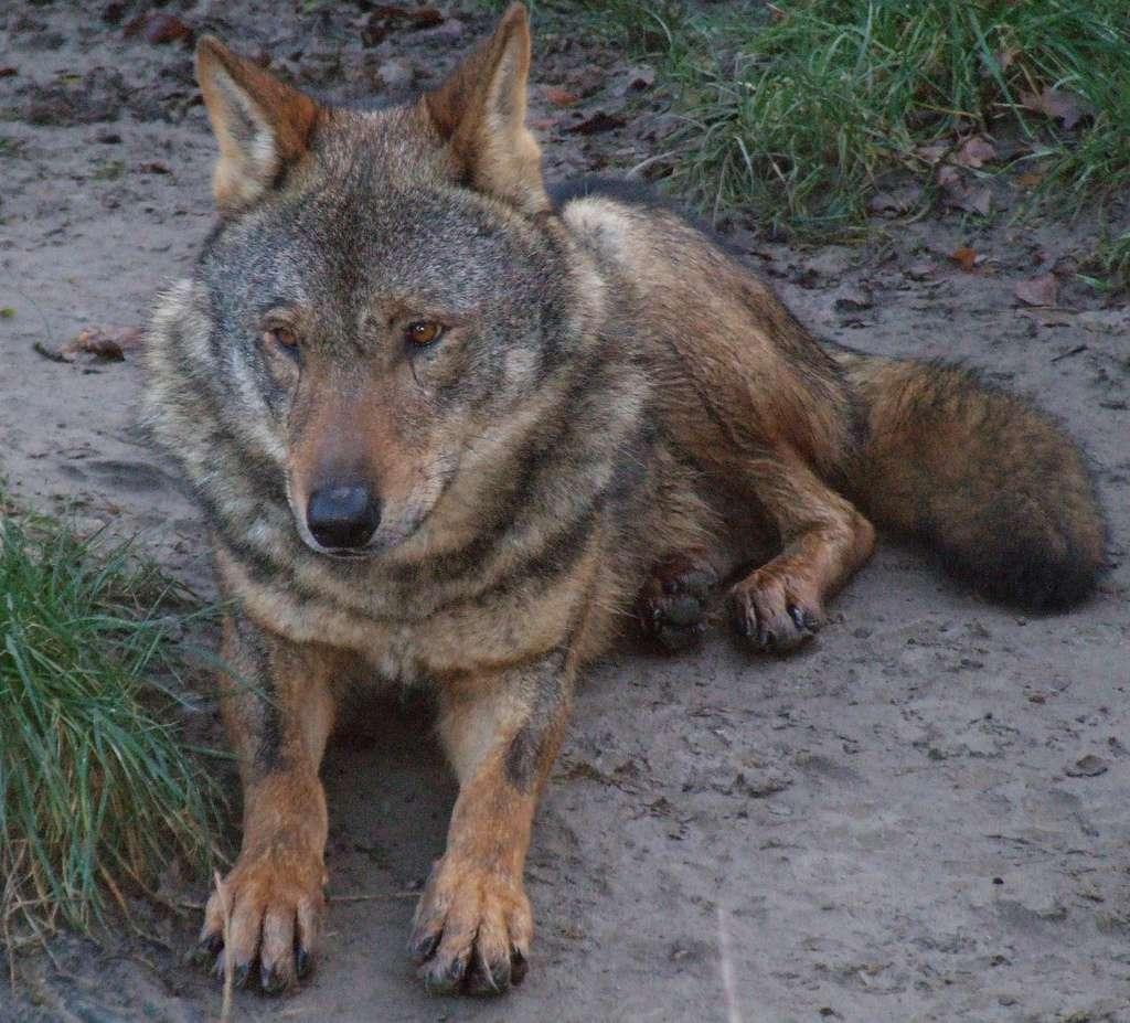 Le Loup ibérique, sous-espèce du Loup gris, vit dans le nord-ouest de la péninsule ibérique. © Gérard Van Drunen CC-by