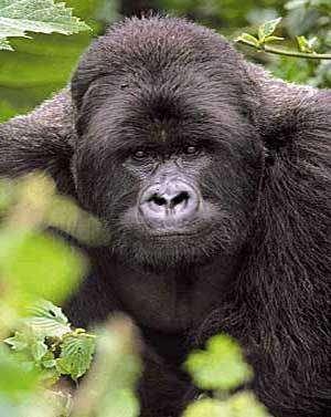 Un jour, une étrange et mystérieuse histoire est survenue quelque part dans la jungle. Les gorilles et les hommes l'ont oubliée. Les poux, eux, s'en souviennent… Crédit : Unesco