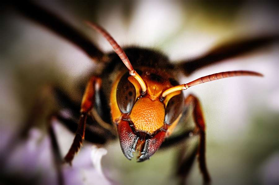 Le frelon géant est cinq fois plus grand qu'une abeille, l'une de ses proies. Son dard atteint 6 mm de long. © netman, Flickr, cc by nc nd 2.0
