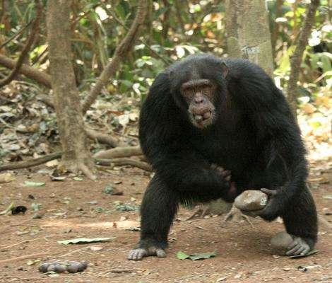 Le chimpanzé et l'Homme possèdent 98 % de leur génome en commun. © Susana Carvalho