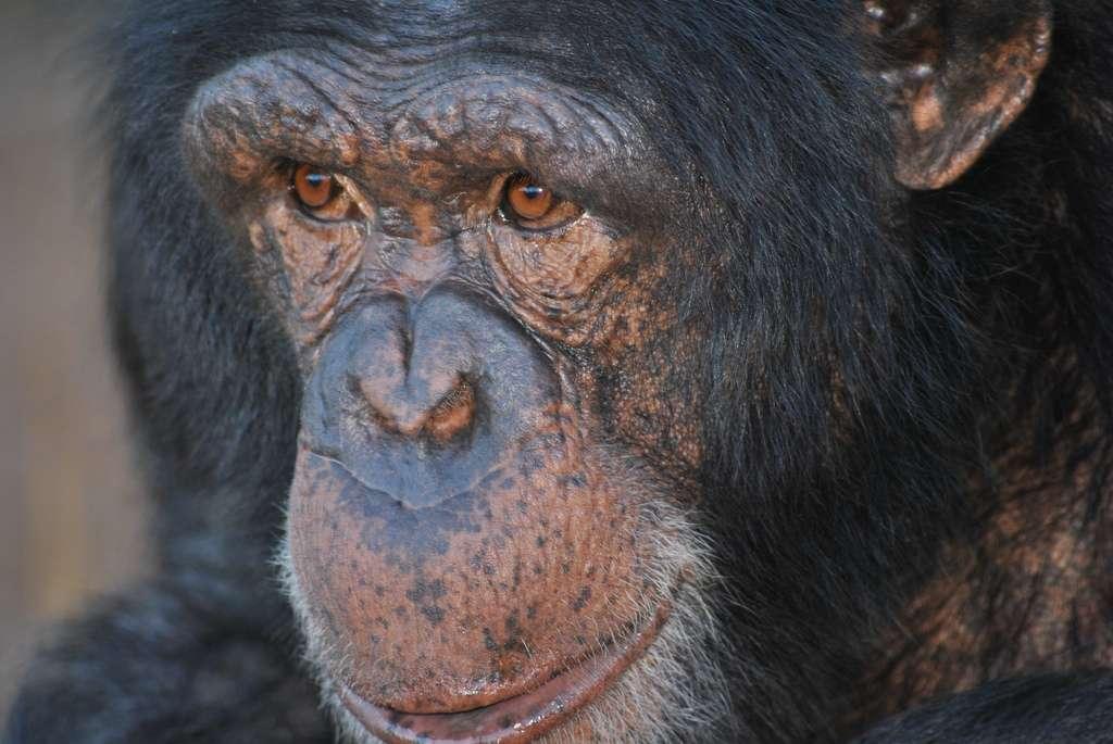 Les chimpanzés seraient nos plus proches cousins hominidés. Nous partageons en effet 98,7 % de notre ADN et de nombreux comportements comme le rire, la médiation sociale et, fait dernièrement connu, la crise de milieu de vie. © AfrikaForce, Flickr, cc by 2.0