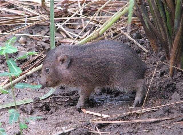 Avec ses 25 cm et ses 9 kg, le cochon pygmée est le plus petit cochon du monde. © Pygmy Hog Conservation Programme