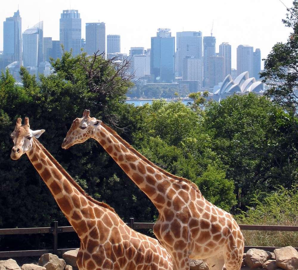 Parmi les grands zoos dans le monde, le zoo de Taronga (Sydney, Australie) accueille les animaux dans un milieu semi-naturel. © Jan Derk, Wikimedia Commons, DP