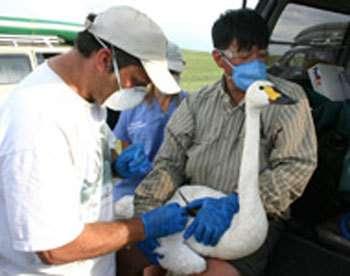 Marquage de cygnes chanteurs avec des émetteurs GPS© FAO