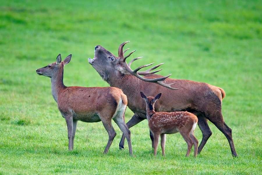 Les cerfs font l'objet de braconnage au Royaume-Uni et des scientifiques ont imaginé poursuivre les braconniers en analysant l'ADN qu'ils laissent sur les carcasses. © lviatour, www.lucnix.be, cc by sa 3.0