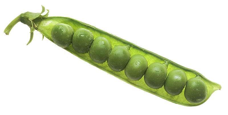 Les petits pois sont source de protéines végétales. © DR