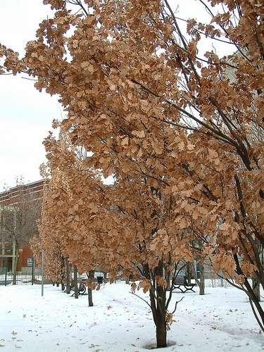 Ce chêne qui a conservé ses feuilles en hiver est une plante marcescente. © Bob August CC by-nc-sa 2.0
