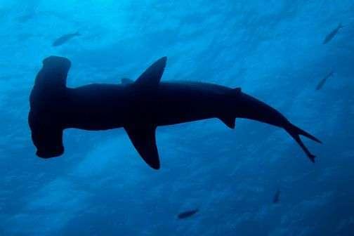 Le grand requin-marteau (Sphyrna mokarran) est l'une des 21 espèces de requins du Pacifique sud. Il peut atteindre 5,5 m de long et se distingue du requin-marteau par sa grande nageoire dorsale. © Sami Sarkis