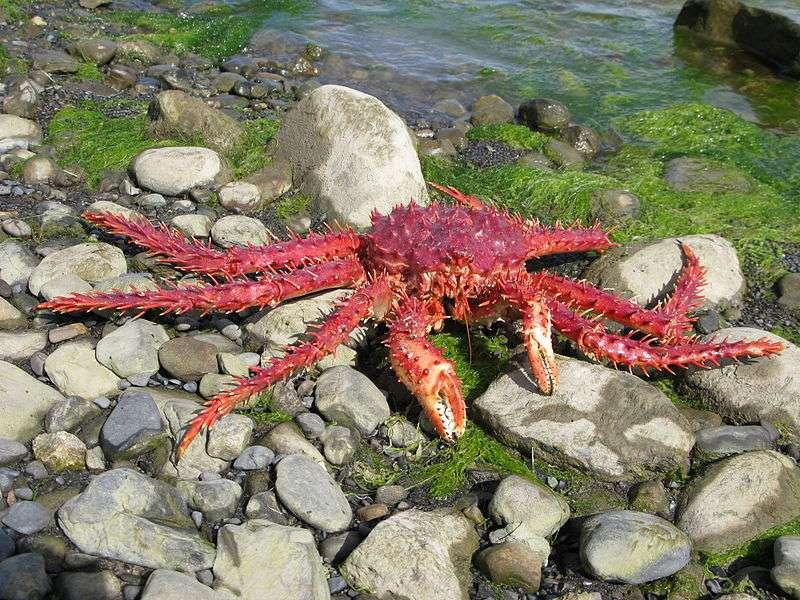 Le crabe royal est friand de petits invertébrés. Jusqu'à maintenant, on pensait que l'océan Austral s'étant réchauffé, il avait migré sur le plancher océanique de l'Antarctique, devenant une réelle menace pour la faune. © Butterfly voyages, Wikipédia, GNU 1.2