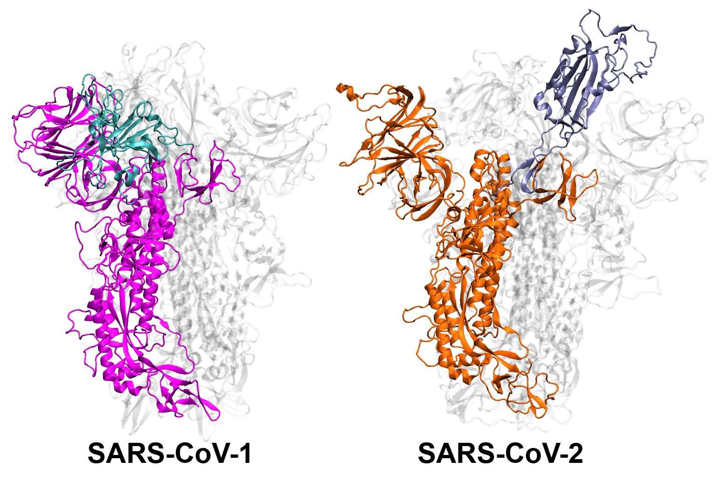 Représentation des structures protéiques du SARS-CoV-1 et du SARS-Cov-2. © Mahmoud Moradi