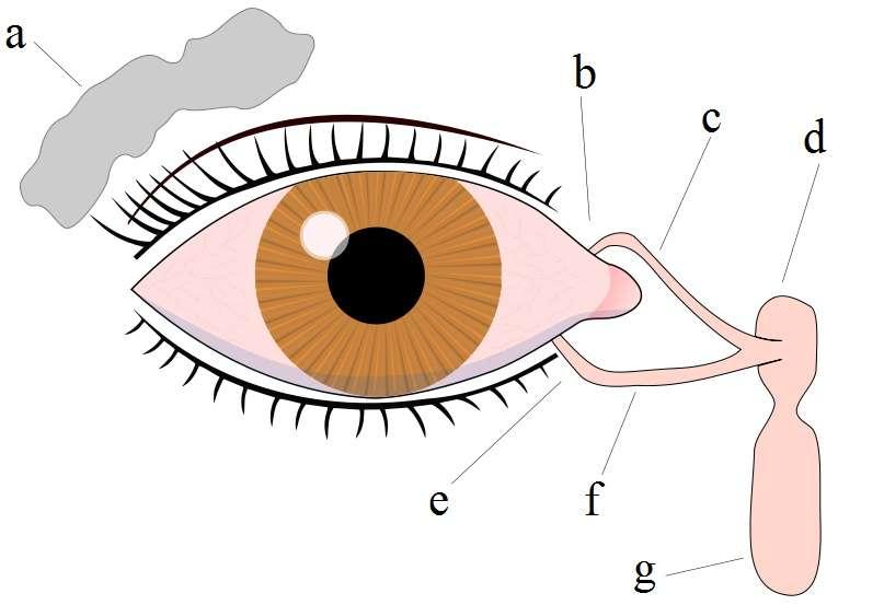 Les glandes lacrymales produisent des larmes qui finiront par s'évacuer par le nez. (a = Glande lacrymale ; b = Point supérieur lacrymal ; c = Canal lacrymal supérieur ; d = Sac lacrymal ; e = Point lacrymal inférieur ; f = Canal lacrymal inférieur ; g = Canal nasolacrymal). © FML, Wikimedia, CC by-sa 2.5