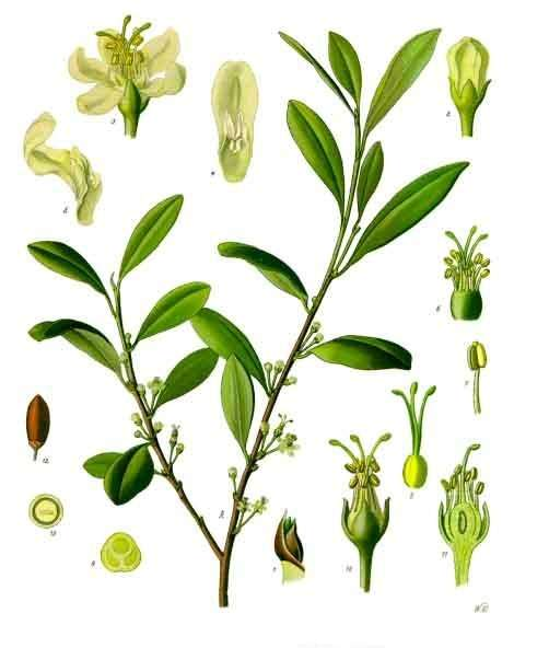 Plant de coca (Erythroxylum coca). Source Commons