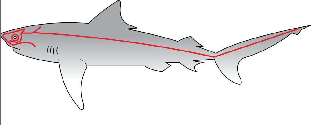 Chez le requin, la ligne latérale est issue de placodes. © Chris Huh, domaine public