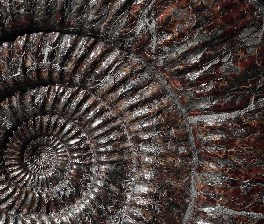Selon les espèces, les ammonites présentaient des tailles variables, de quelques millimètres à plusieurs mètres de diamètre. © pjriccio2006, Flickr, cc by nc sa 2.0