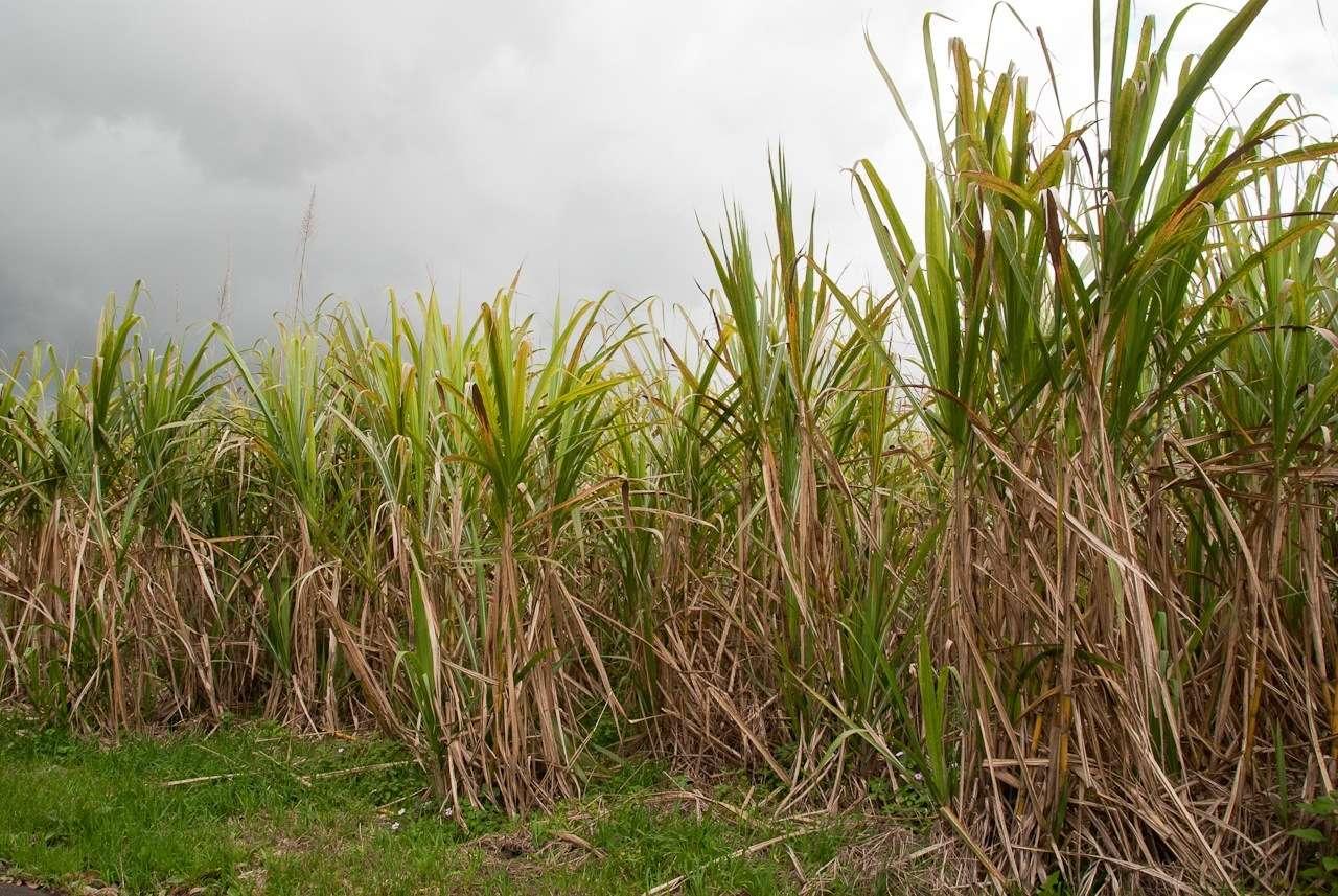 La culture de la canne à sucre préserve du réchauffement climatique. © Thomas Bucher, Fotopedia, CC by-nc-nd 3.0