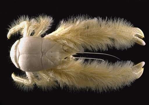 Un crabe poilu (Kiwa hirsuta) a été découvert près de l'île de Pâques par les scientifiques français de l'Ifremer. © Ifremer
