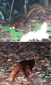 Le mystérieux animal de BornéoCrédits : WWF