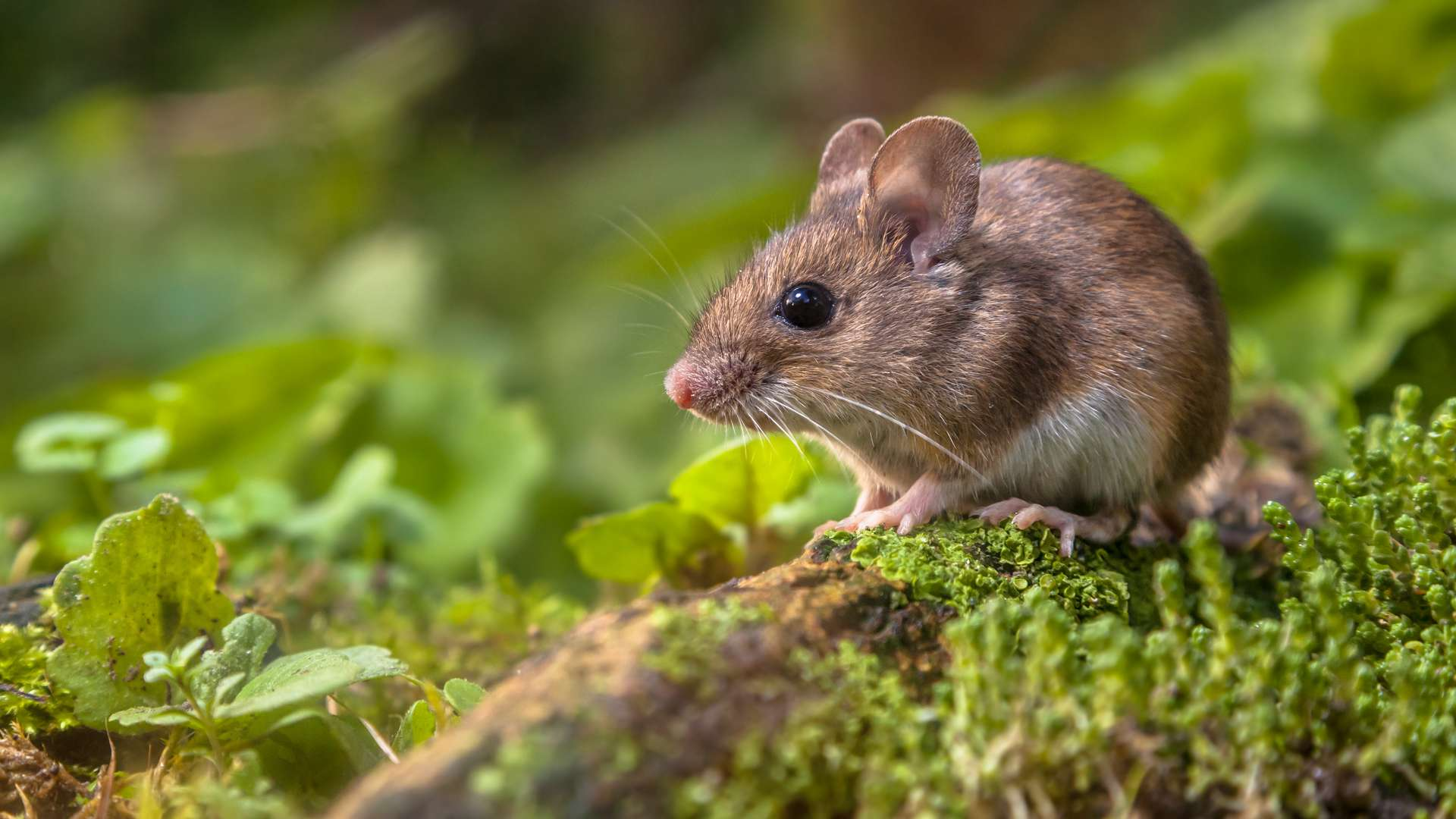 Les vertébrés, à l'instar des souris, et les invertébrés, dont les mouches, ont un ancêtre commun. © Creativenature.nl, Adobe Stock