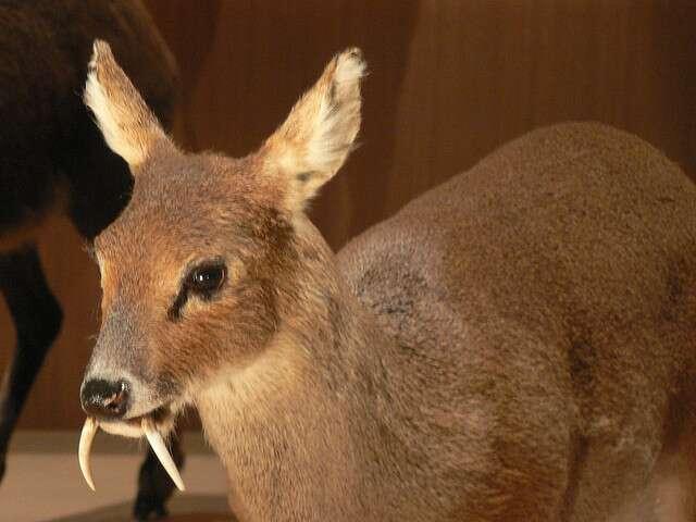 Le cerf porte-musc du genre Moschus possède de longues canines caractéristiques. © Peter Halasz, flickr, cc by sa 2.0