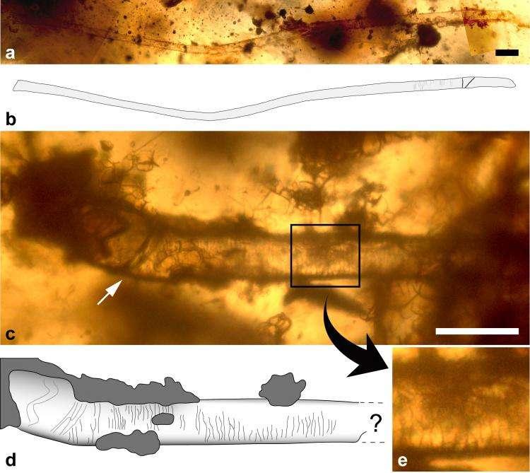 Poils de mammifère dans de l'ambre charentaise, datant d'environ cent millions d'années (Crétacé). La structure en écaille est bien visible en c et en e. La flèche blanche indique ce qui est probablement la limite de la racine. Sur le schéma, les parties grises correspondent à des restes de matière organique. Crédit : Géosciences Rennes (INSU-CNRS, Uni. Rennes 1), ph. V. Girard et R.Vullo