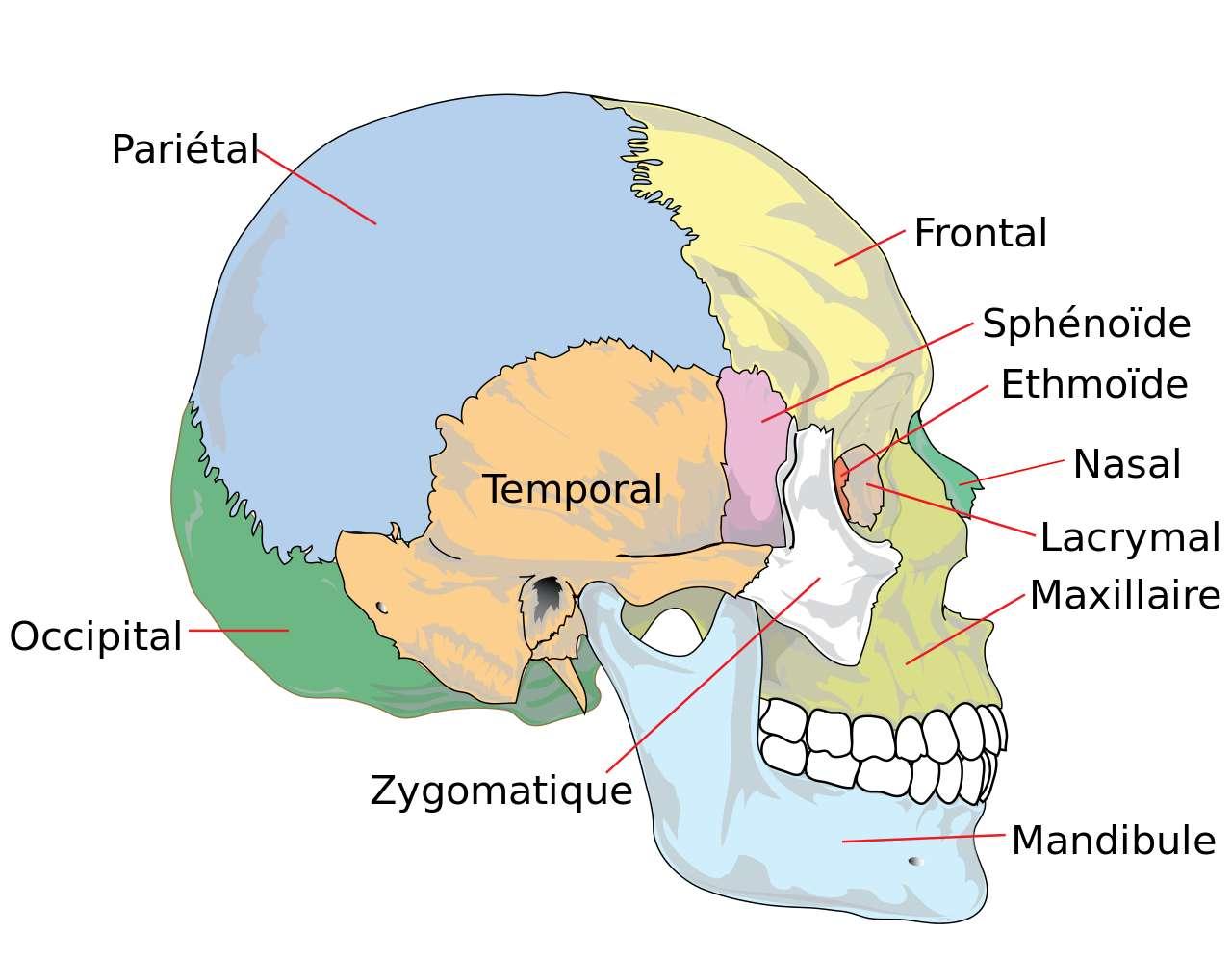 Les os maxillaires forment la mâchoire supérieure. © Berichard, Wikipedia, CC by-sa 3.0