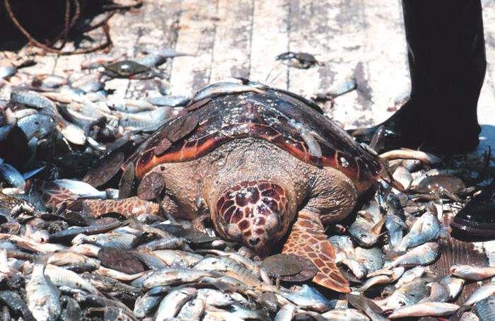 Sans dispositif d'échappement, le destin des tortues marines prises dans les appareils de pêche est souvent tragique. © Bob Williams / Noaa