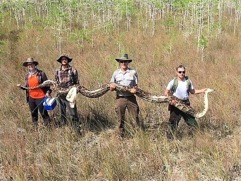 Quatre chercheurs portent un python femelle de plus de 5 mètres de long capturé dans la réserve nationale de Big Cypress en Floride. © Handout - Big Cypress National Preserve/AFP