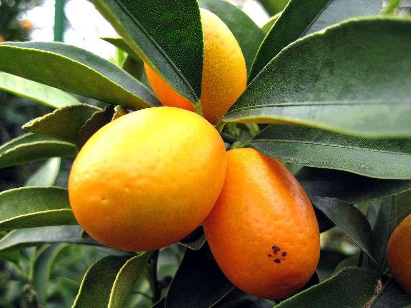 Le kumquat est un petit agrume de couleur orangée. © Aconcagua/Licence Creative Commons