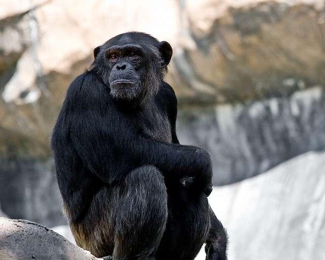 Les chimpanzés et les Hommes ont 98 % de leur génome en commun. © Noldentity, Flickr, cc by nc nd 2.0