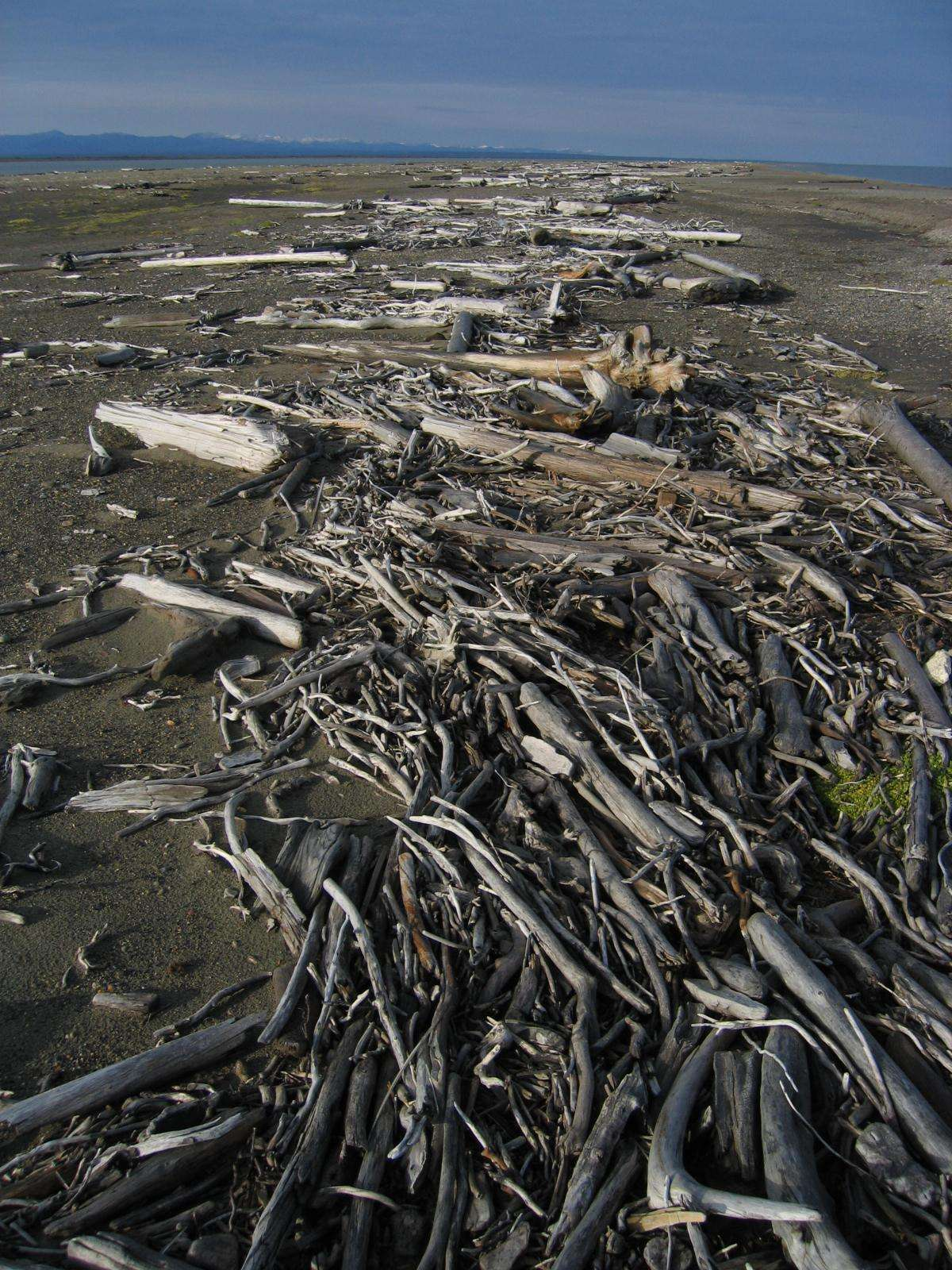 Des laisses de mer constituées de bois flottés. © Erin McKittrick, Wikimédia CC by-sa 3.0