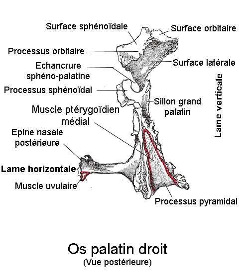 L'os palatin comprend une partie verticale et une partie horizontale. © Berichard, Wikipedia, CC by-sa 3.0