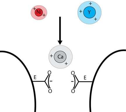Les ions nickel (Ni) et yttrium (Y) sont capables de bloquer des canaux ioniques qui les confondent avec des ions calcium (Ca). Crédit : Lorin Jakubek / Brown University