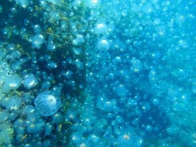 Un bloom de méduses, observé sur les côtes de Nouvelle-Zélande. Bien qu'une tendance croissante dans les populations de méduses sur le long terme n'ait pas été trouvée, ces proliférations restent très impressionnantes. © Seacology