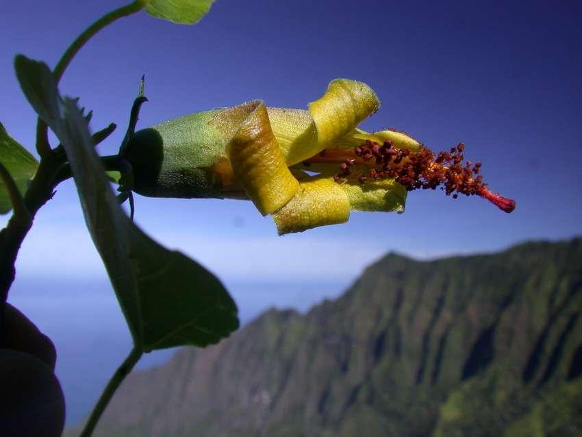 Hibiscadelphus woodii est une espèce d'arbre à fleurs endémique d'Hawaï considérée comme éteinte depuis 2016. Elle ressurgit en 2019 sous forme d'une colonie de trois individus identifiés à l'aide d'un drone. © Kenneth Wood, NTBG