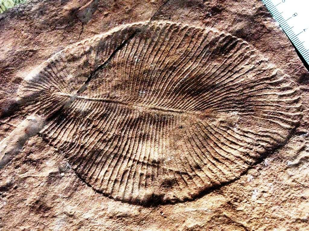 La faune de l'Édiacarien (autrefois appelée faune vendienne) est constituée d'organismes énigmatiques en forme de feuille ou de tube. L'Édiacarien (-630 à -542 millions d'années) est la dernière période géologique de l'ère protérozoïque. Elle doit son nom aux collines Ediacara, situées à 650 km au nord d'Adélaïde, en Australie. Les fossiles de ces organismes ont été découverts dans le monde entier et représentent les premiers organismes multicellulaires complexes connus. On voit ici un exemplaire fossile de Dickinsonia costata. © Verisimilus, Wikimedia Commons, cc by 2.5