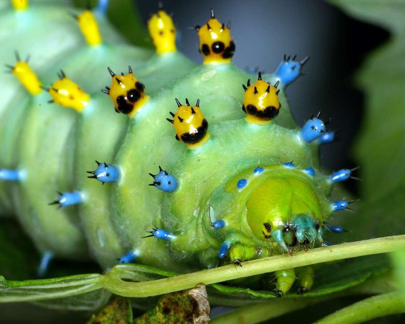 Cette chenille peut mesurer jusqu'à huit ou dix centimètres de long deux mois après sa naissance. À l'automne, elle se barricade dans une chrysalide, de laquelle sort un grand papillon de nuit. © Tom, Flickr, cc by nc nd 2.0