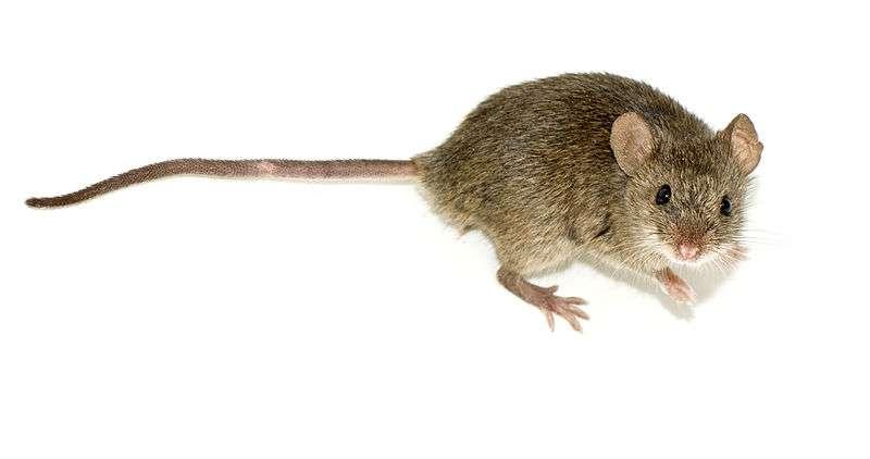 Des souris ayant reçu des bactéries intestinales Lactobaccillus rhamnosus sont moins stressées que les autres. Les récepteurs de l'acide γ-aminobutyrique situés dans le cerveau sont également plus actifs. L'ablation du nerf allant de l'intestin au cerveau fait disparaître ces caractéristiques, prouvant ainsi qu'un signal est envoyé grâce aux bactéries vers le système nerveux central. © George Shuklin, Wikimedia common, CC by-sa 1.0